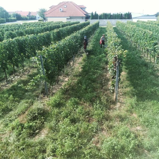 Kurze Reihen eines Weingartens zwischen denen Menschen mit Schubkarren Trauben Ernten. Im Hintergrund sieht man ein paar Häuser