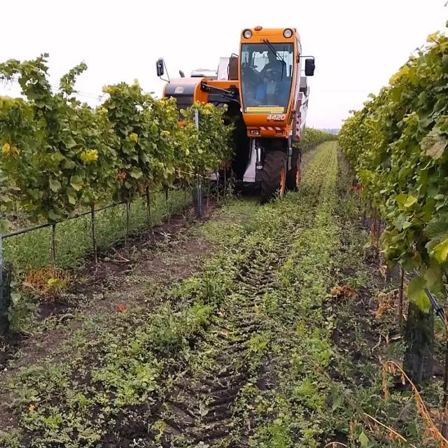 Ein Traubenvollernter bei der Arbeit im Weingarten.