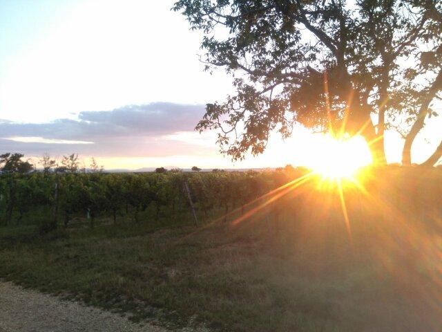 Sonnenuntergang im Gegenlicht hinter einem Nussbaum am Rande eines Weingartens