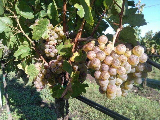Überreife Weißweintrauben am Rebstock, die Schale schon etwas berostet mit ein paar edelfaulen Trauben dazwischen.