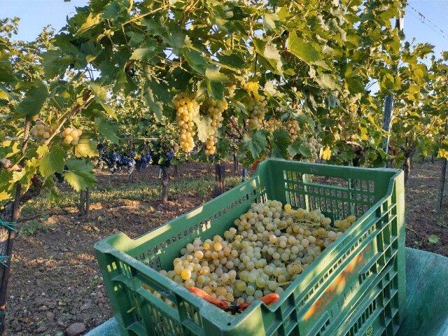 Eine Kiste mit geernteten Tafeltrauben auf einer Scheibtruhe im Weingarten. An den Rebstöcken dahinter hängen noch weitere Trauben.
