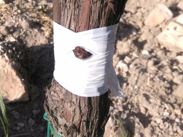 Schutz vor Austrocknung - Stamm und Knospe mit dehnbarem Plastikband eng umwickelt.