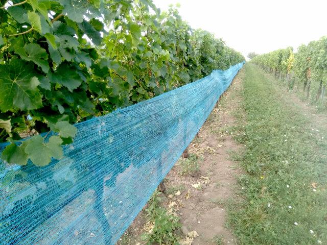Eine Reihe Weinreben, die Traubenzone ist mit einem engmaschigem Netz bedeckt.