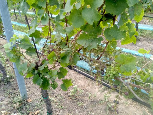 St. Laurent Rebstock auf dem nur mehr Traubenstiele hängen. Die Beeren wurden von Staren abgefressen.
