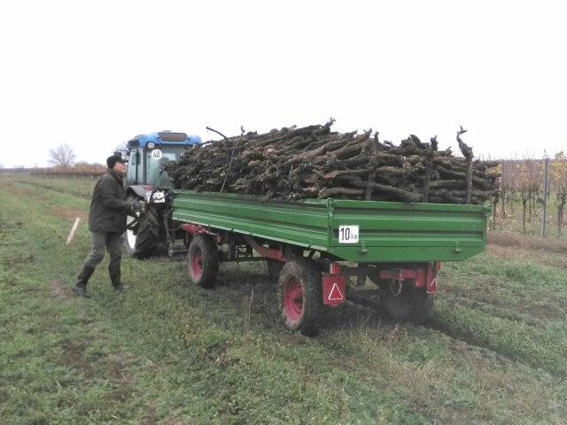 Rebstöcke werden auf Wagen geladen und aus dem Weingarten gebracht