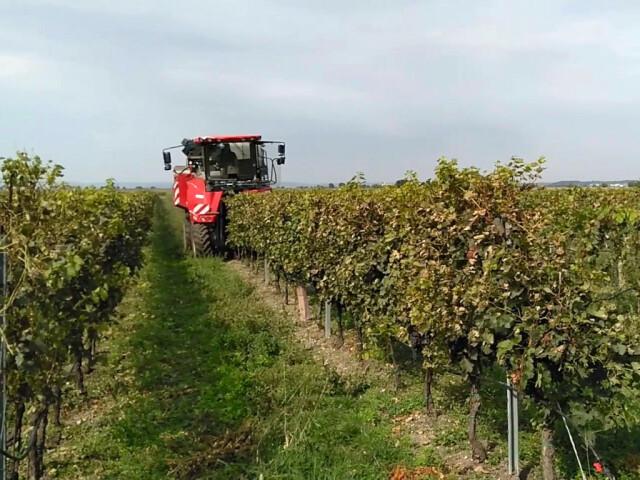 Eine große Erntemaschien fährt durch einen Weingarten. Duie Maschine fährt dabei über eine Reihe, die sie zwischen den Rädern einfädelt