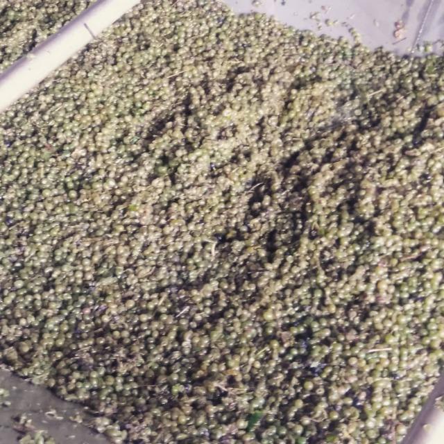 Geerntete und gerebelte Beeren in der Traubenübernahmewanne