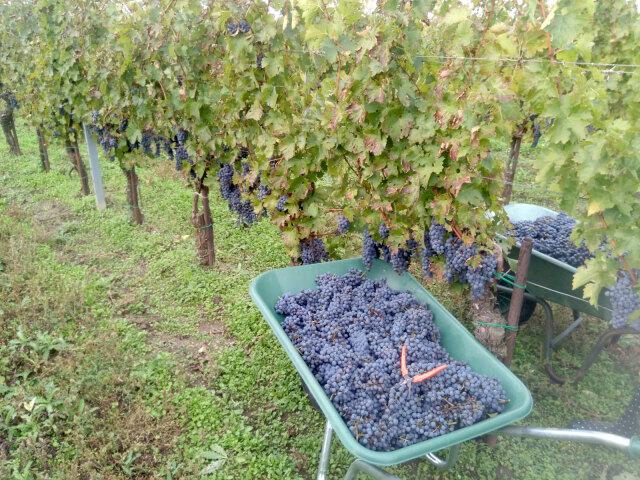 Eine Scheibtruhe voller frisch geernteter blauer Weintrauben neben einer Reihe mit Rebstöcken auf denen noch weitere Trauben hänen. In der Scheibtruhe liegt eine Weinleseschere. Auf der anderen Seite der Rebzeile steht eine weitere volle Scheibtruhe.