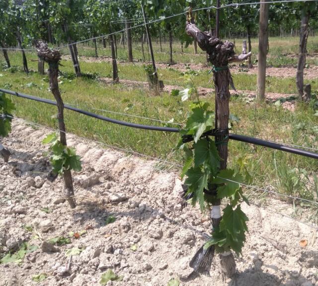 Erfolgreich umveredelte Rebstöcke - Zwei Rebstöcke bei denen die Veredlung gut gelungen ist. Oben sind alle Triebe des alten Holzes entfernt. Seitlich wachsen die neuen Reben.