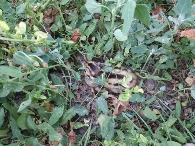 Ein ganz junger Fasan versteckt sich zwischen den Blättern niedriger Kräuter.